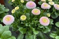 Bellis - Gänseblümchen III
