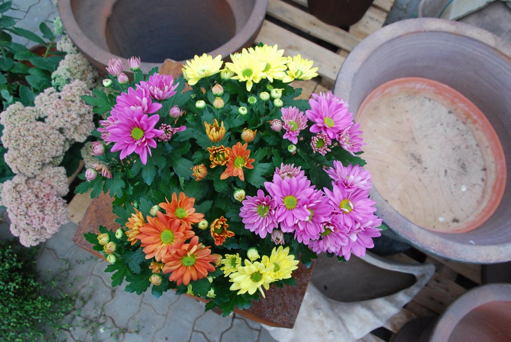 Chrysantheme-3farbig-001
