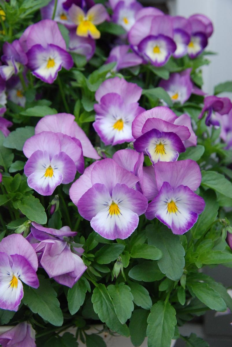 Viola-cornuta-Hornveilchen-3
