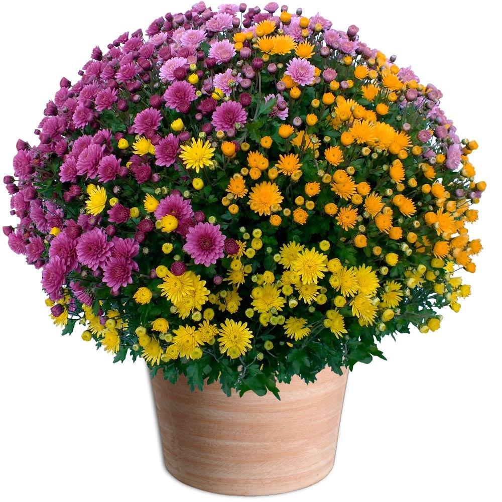 chrysanthemenbusch-3farbig-10