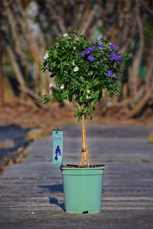 Enzianbaum blau-weiss
